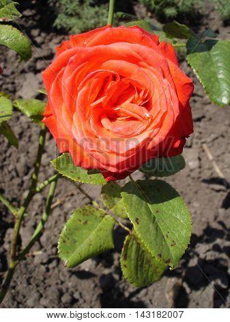 One park scarlet rose flower on a sunny day.