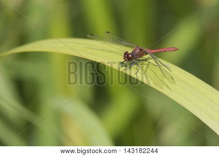 Ruddy Darter (Sympetrum sanguineum) male resting on a leaf from Yellow iris (Iris pseudacorus)