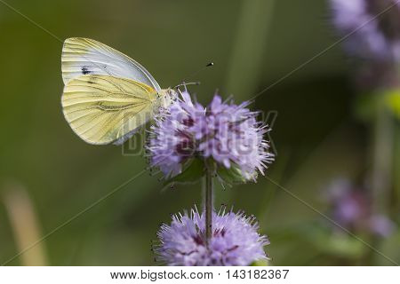 Green-veined White (Pieris napi) butterfly extracting nectar from Water Mint (Mentha aquatica)