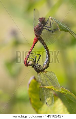 Mating Wheel of Ruddy Darter (Sympetrum sanguineum) resting on a leaf