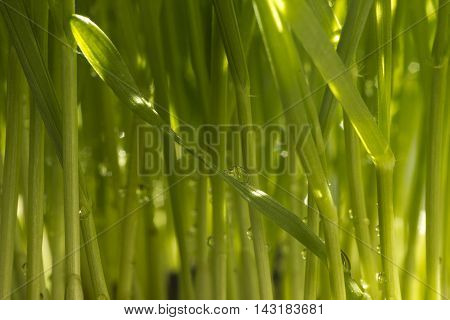 Fresh green wheat grass organic with drop dew growing in nature - shallow depth of field