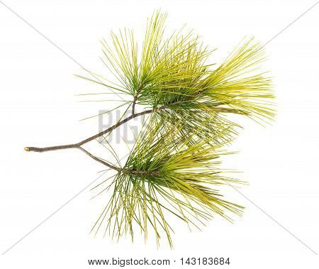 Twig with golden pine needles isolated on a white background
