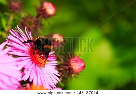 bumblebee sits on the aster and collects the nectar