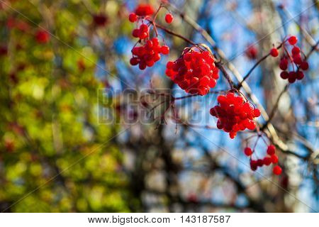 Branch with ripe scarlet berries of viburnum on blurred with shallow depth of field background of the blue sky and green foliage