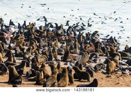Cape Fur Seals Entering Leaving Ocean