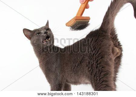 combing brush gray cat on white background