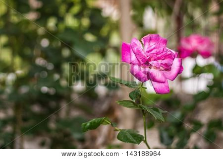 Pink rose in the garden on a nice bokeh.