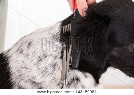 Close-up Of Woman Cutting Hair Of Her Dog With Scissor And Comb