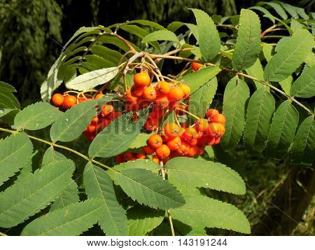Rowan tree in nature during sunny day