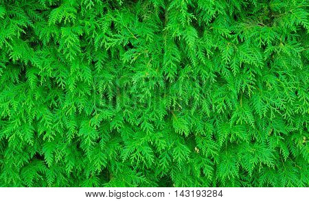 Green branches of a thuja in a horizontal format