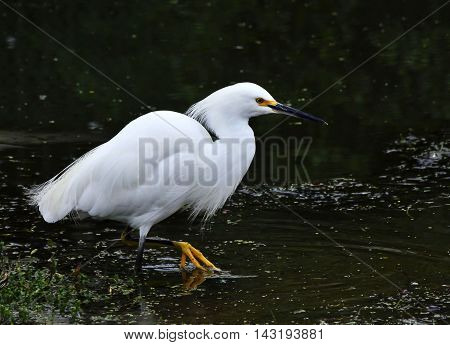 The herons are long-legged freshwater and coastal birds in the family Ardeidae, with 64 recognised species, some of which are referred to as