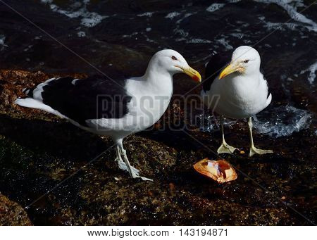 Two hungry angry kelp gull (Larus dominicanus), also known as the Dominican gull.