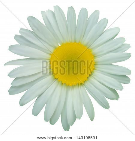 Daisy chamomile flowers. Vector illustration isolated on white