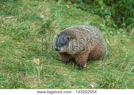 Single brown groundhog foraging for food in the grass.
