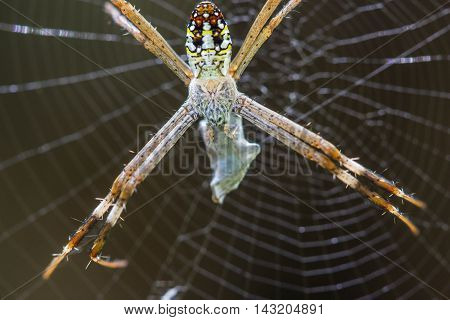 a golden Orb-weaver Spider on nature background