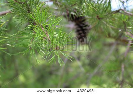 Pine needles closeup with pinecone in background on evergreen tree