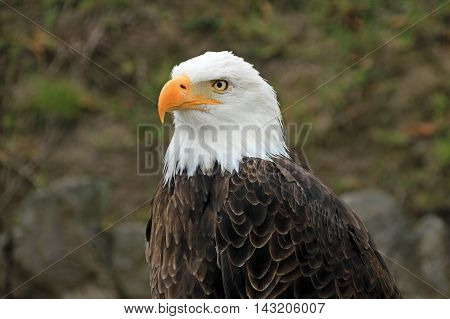 Bald eagle head close up, sitting there