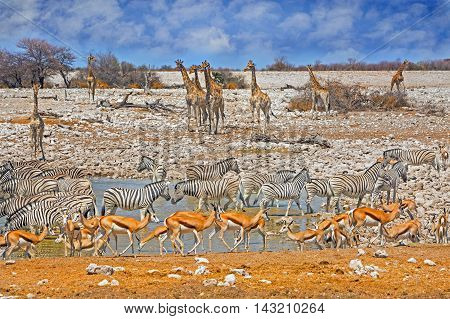 Okaukeujo Waterhole in Etosha National Park with many different animals including giraffe, zebra & springbok with a vibrant blue sky