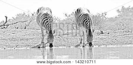 black and white picture of 2 zebra's drinking at waterhole at Jaci's tree lodge in Madikwe game reserve,South Africa.