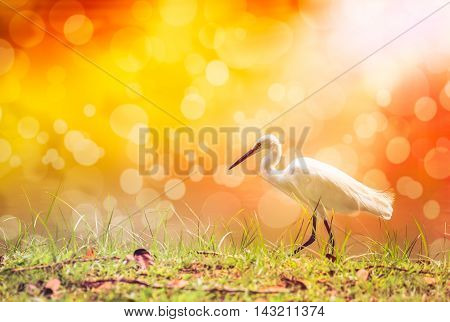 Animals in wildlife. Side view of white egret walking with bright sunlight on blurred abstract colorful bokeh background. long neck bird. Outdoors.