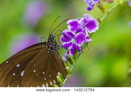a cute brown butterfly on purple flowers
