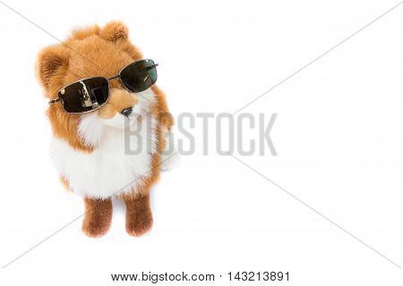 Dolly Dog Cute wearing black sunglasses.  beautiful on white background