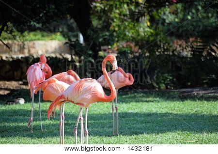 Caribbean Flamingo  #2