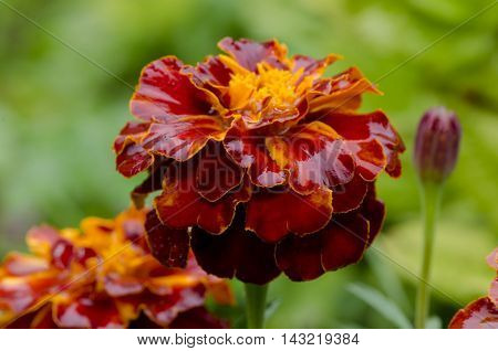 Macro flower with large petals of maroon and orange in the rain