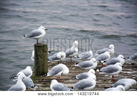 Flock Of Seagulls At A Pier Looking Upon Lake Rotorua