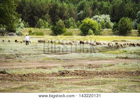 A shepherd tending a flock of sheep