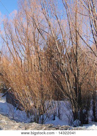 Bare Winter Cottonwoods Glow