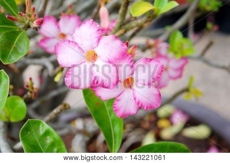 Pink Desert Rose blooming with branches and leaves.