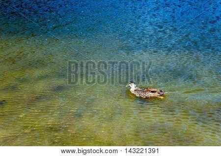 Duck Swimming In Lake Pearson / Moana Rua Wildlife Refuge Located In Craigieburn Forest Park In Cant