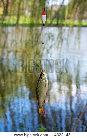 roach caught on fishing tackle in the river