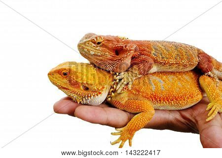 Bearded dragon bright colors on hand  white background