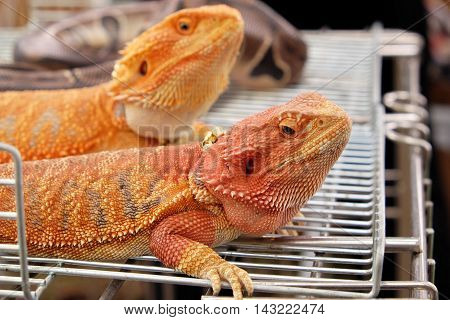 Bearded dragon cages brightly colored grid .