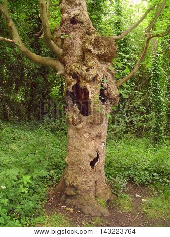 An Old Tree Hollowed Out By Disease