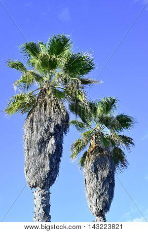 Fan palm trees and clear blue sky, tropics vegetation.