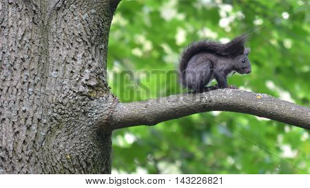 Beautiful black squirrel sitting on a branch , and is hidden from passers