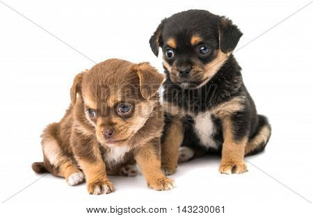 puppy black, doggy isolated on white background