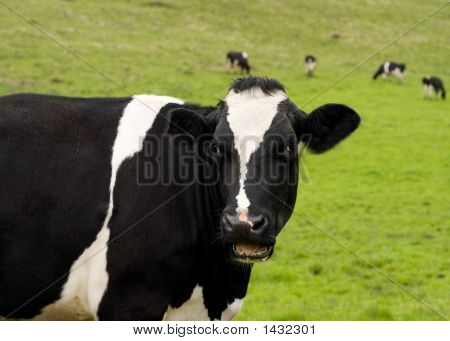 Talking Cow_1
