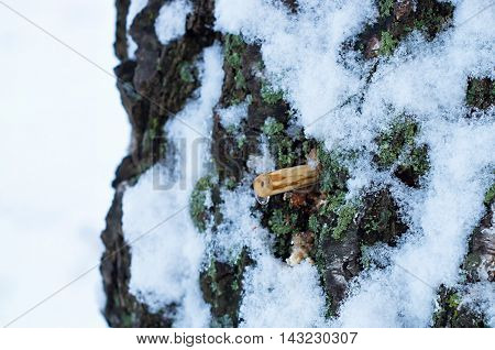 drop of birch sap with tubing and snow