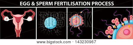 Egg and sperm fertilisation process illustration