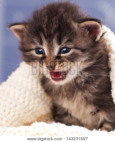Crying cute kitten in a warm knitted sweater over light blue background