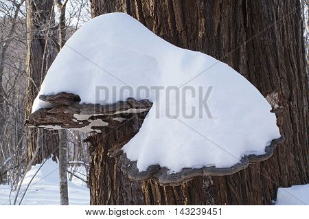 Artist's conk fungus (Ganoderma applanatum) covered with snow