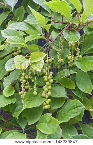 Chinese schisandra (Schisandra chinensis). Close up image of immature berries