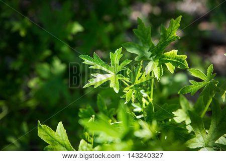 Closeup of green Anatolian sweetgum (Liquidambar orientalis) leaves. Selective focus on the leaves.