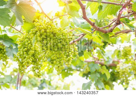 Green grapes on the branch in the vineyard.