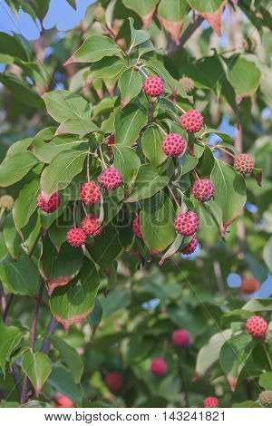 Kousa Dogwood fruits (Cornus kousa). Called Chinese Dogwood Japanese Flowering Dogwood Japanese Strawberry Tree Japanese Dogwood and Korean Dogwood also