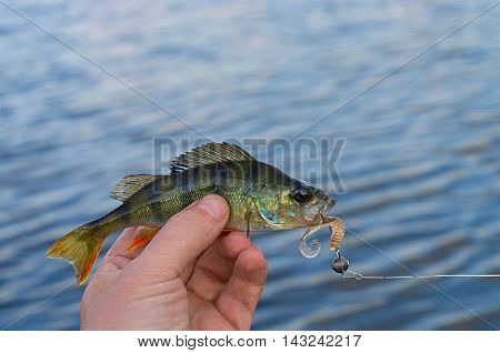 caught perch on silicon bait in the river